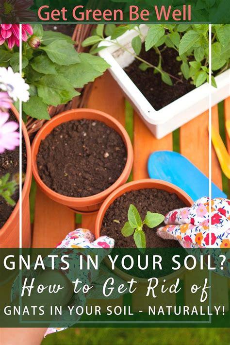 miracle gro potting soil  fungus gnat infestations