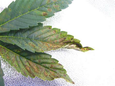 phosphorus color cannabis phosphorus deficiency symptoms solutions