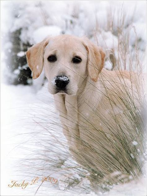 how big does a golden retriever grow 30 best images about yellow labs on me up labradors and golden