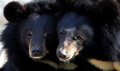 imagenes oso negro oso negro asi 225 tico im 225 genes y fotos
