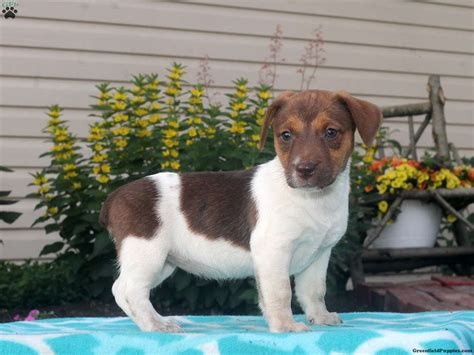 free puppies in maryland terrier puppy for sale in maryland