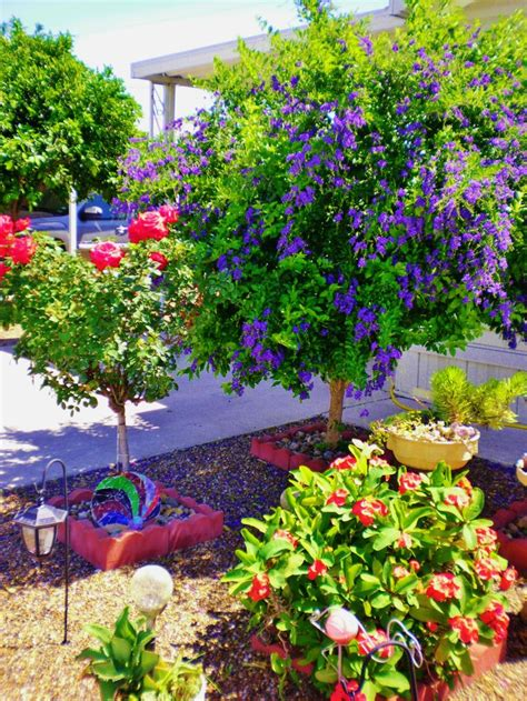this purple duranta shrub tree and the rose tree are in