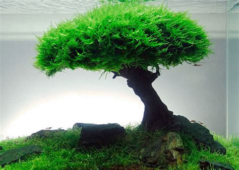 java moss aquascape understanding plant aquascape java moss aquascaper