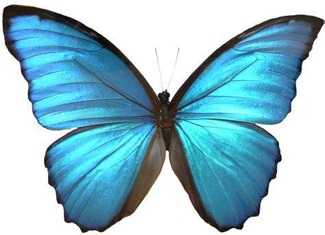 Butterfly Wings blue morpho butterfly wings by enchantedgal stock on