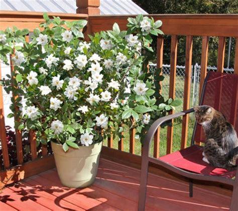 Gardenia Buttons Cottage Farms Patio Buttons Gardenia M46292