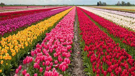 wallpaper bunga tulip di belanda kashmir asia s largest tulip garden opens for visitors