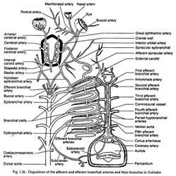 Circulatory System Essay by Circulatory System Essay