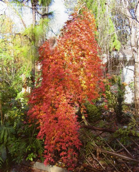 What Garden Zone Am I In By Zip Code - plantfiles pictures japanese maple ryusen acer palmatum by ppcspc