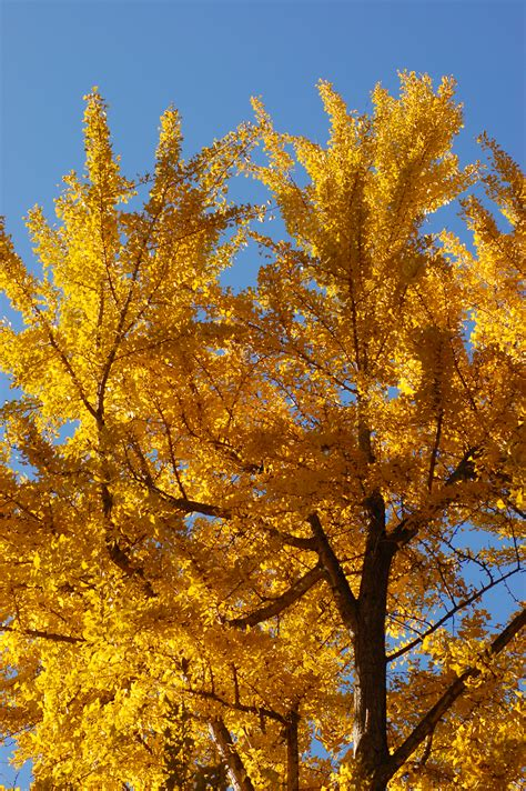 file ginkgo tree ginkgo biloba autumn leaves vertical 2000px jpg