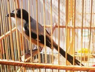 Pakan Lolohan Untuk Cendet om hoby 5 langkah mengatasi burung cendet yang