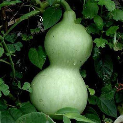 tree with gourd like fruit fruit warehouse bottle gourd lagenaria siceraria