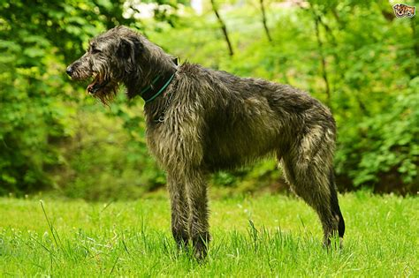 Wolfhound Shedding by Wolfhound Breed Information Buying Advice