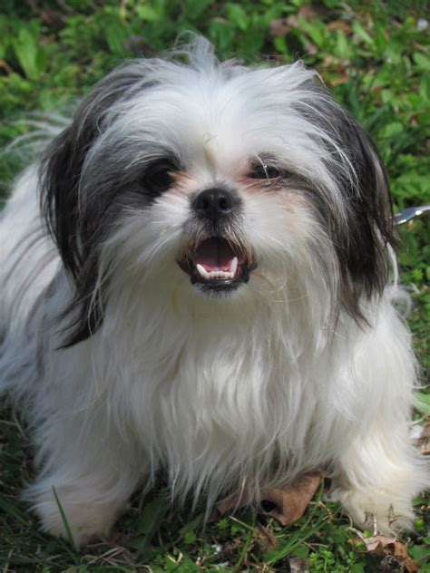 how often should i feed my shih tzu puppy allergies in children pets and how they prevent allergies in children