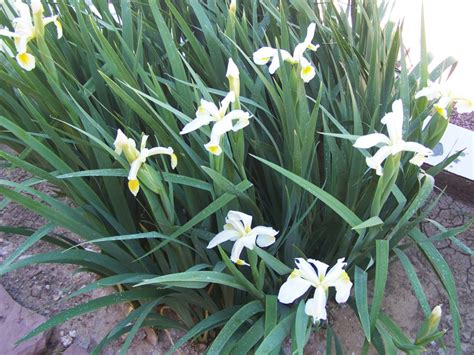 gardening and flowers white lily plants
