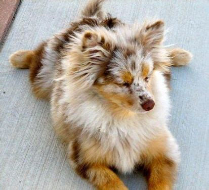 mini australian shepherd pomeranian mix 17 best ideas about pomeranian mix on dogs adorable puppies and
