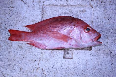 fish skin kerupuk kulit ikan kualitas import 500gram welcome to wifishery seafood