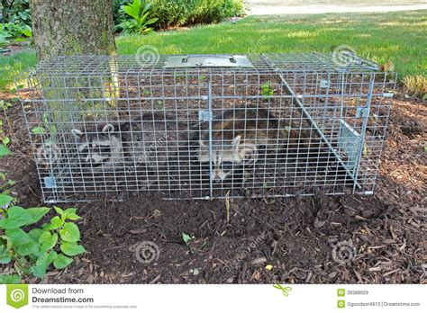 how to catch a raccoon in my backyard two raccoons procyon lotor caught in a live trap stock