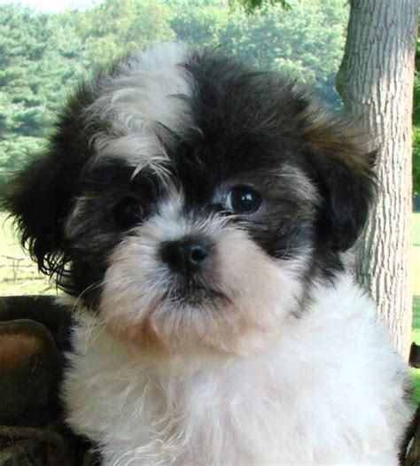 what does a shih poos tail look like 78 best images about shihpoo shih tzu poodle cross on