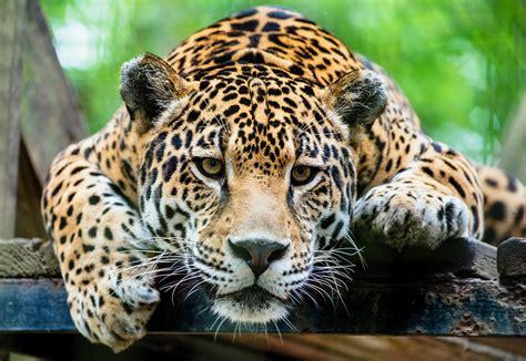 jaguar pattern house cat domestic cats that look like leopards 12 super wild