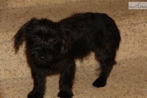 yorkie poo terrier yorkie poo is poodle breeds picture