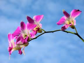 pictures of flowers dendrobium orchid