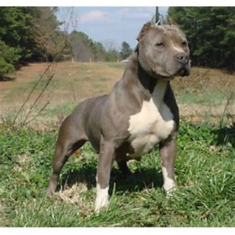 pitbull puppies for sale in nh elite k 9 american pit bull terrier breeder in sandown new hshire listing id