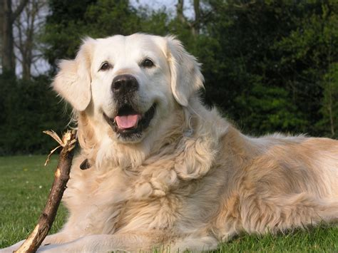 a golden retriever golden retriever perrosamigos