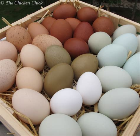 egg colors the chicken 174 decrease in egg production causes