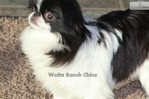 japanese chin puppies for sale near me japanese chin puppy for sale near grand island nebraska 3e37e606 9a01