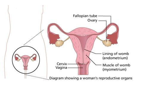 Lining Of Your Uterus Shedding During Menstruation by The Menstrual Cycle