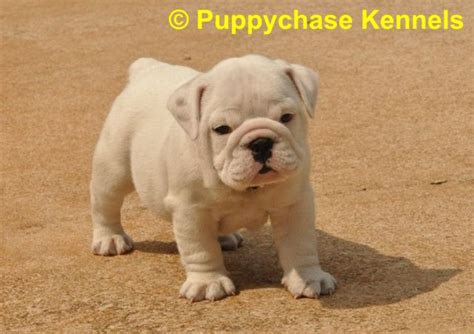 puppies ga bulldog puppy for sale from puppychase kennels tri carrie