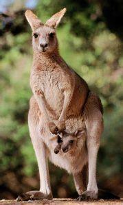 animal awesomeness kangaroos     awesome