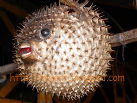 Bola Duri Binatang artikel ilmiah populer dunia biologi