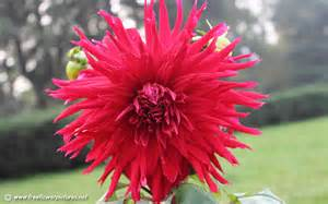 What Is A Dahlia Flower - dahlia pictures dahlia flower pictures
