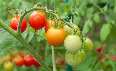 Toato Flower Top how to grow so many tomatoes in so space best way to grow tomatoes balcony garden web