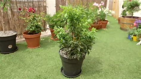 Arbuste En Pot Pour Terrasse Plein Soleil by Planter Un Arbuste Persistant Minutefacile