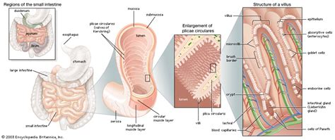 what are the 3 sections of the small intestine 20 the anatomy histology and development of the small