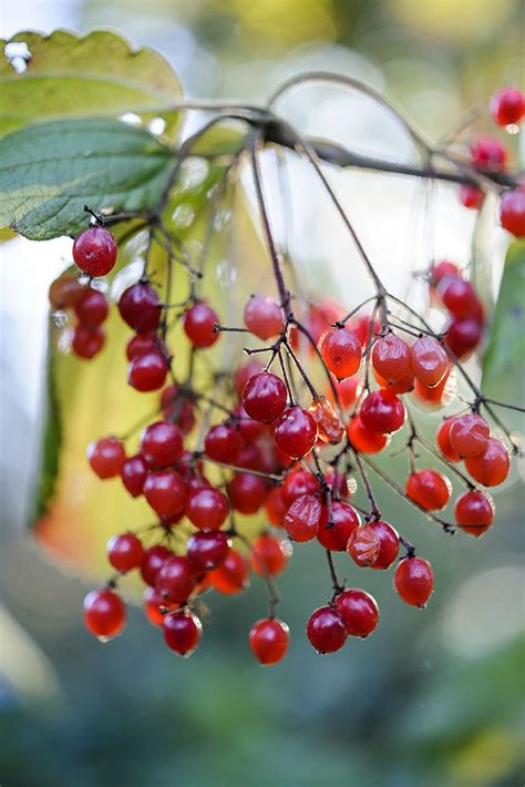 what deciduous tree has berries in winter 17 best images about autumn colour on scarlet evergreen shrubs and turning