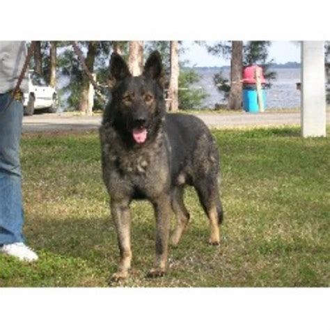 free puppies fort myers fl reinwald kennels german shepherd breeder in fort myers florida