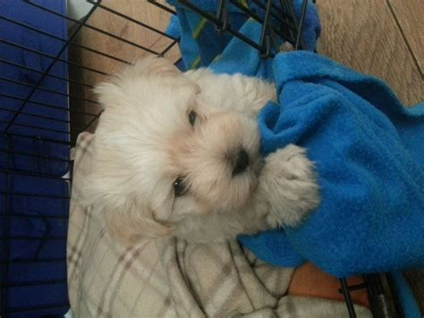 maltese x havanese havanese x maltese havamalt pontefract west pets4homes