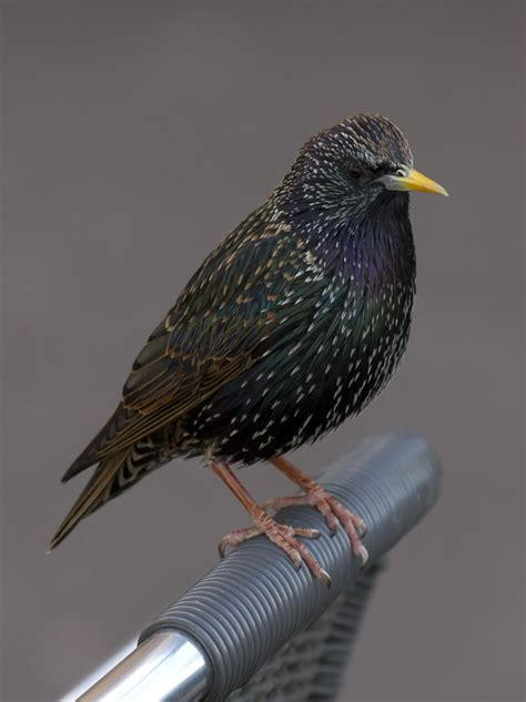 european starling sturnus vulgaris michigan s sleeping