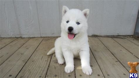 white siberian husky puppies 65 beautiful white siberian husky pictures and images