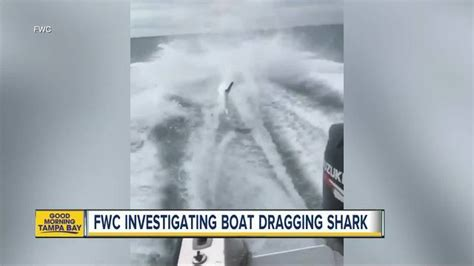 shark dragged to death behind boat fwc confirms investigation into more shark abuse wptv