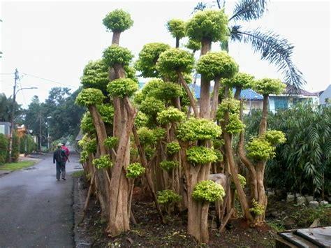 kumuh  jadi kebun bonsai good news  indonesia