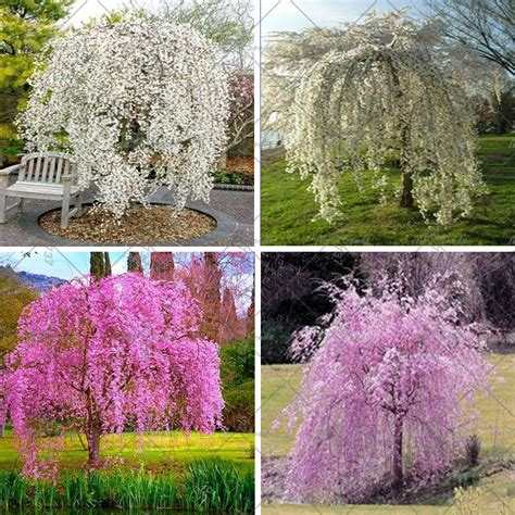 garten zierpflanze 20pcs bag weeping cherry tree diy family