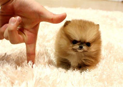 micro mini teacup pomeranian puppies best 25 teacup pomeranian puppy ideas on pomeranians pomeranian puppy
