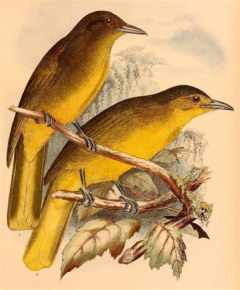 the birds and the file the birds of celebes and the neighbouring islands
