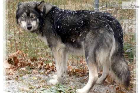 wolf puppies for sale in nc wolf hybrid puppies