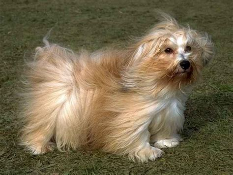 haired havanese havanese a of the haired bichon family originally bred as dogs