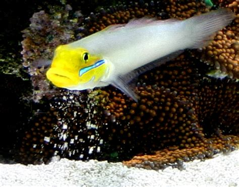 Sleeper Goby by Golden Headed Sleeper Goby